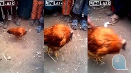 「無頭雞」奇蹟生還,被斬後還能四處趴趴走