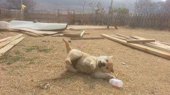 珍岛犬超爱养乐多 即使是空罐子也 LIFE生活网