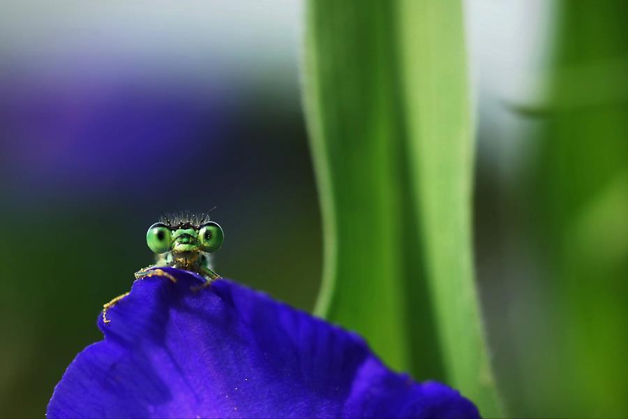 """盛夏時光中的蜻蛉:""""豌豆姑娘""""獨特之美"""